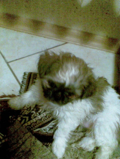 Продам предлагаю щенков Ши-тцу в Туапсе.